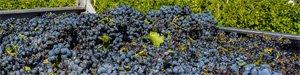 moszcz-winogronowy